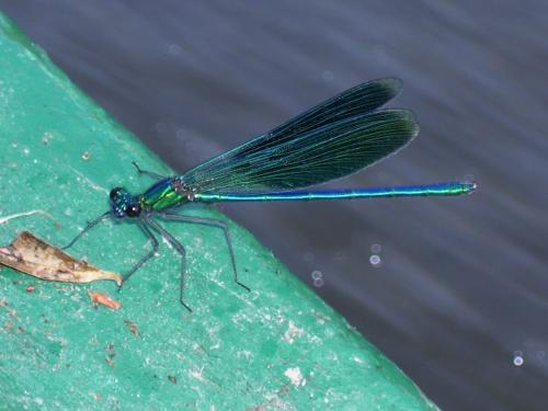 Calopteryx spendens (Photo by Natalia Litvinova)