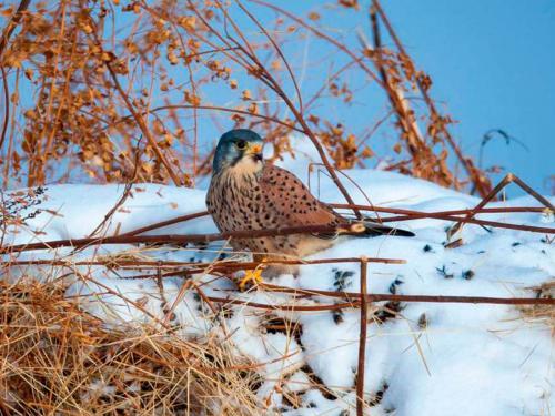 Falco tinnunculus (Photo by Evgeniy Polonskiy)