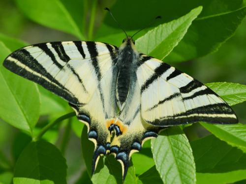 Iphiclides podalirius (Photo by Andrey Steblev)