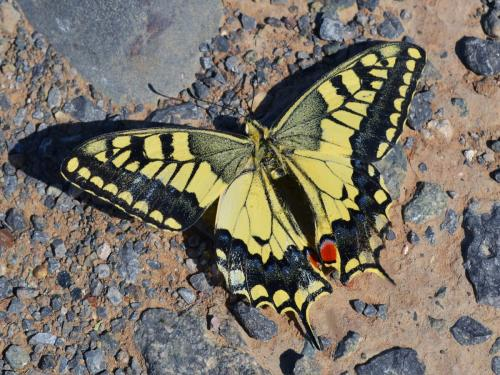 Papilio machaon (Photo by Andrey Steblev)