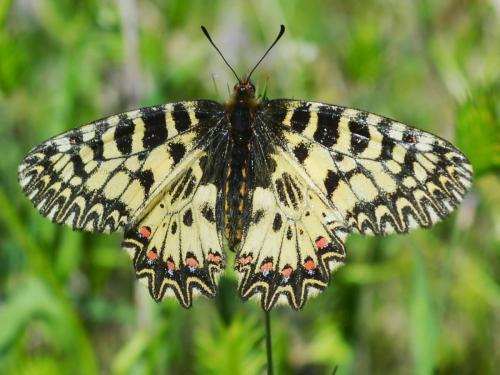 Papilio polyxenes (Photo by Andrey Steblev)