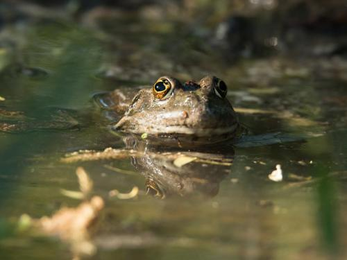 Pelophylax ridibundus (Photo by Aleksey Kashin)