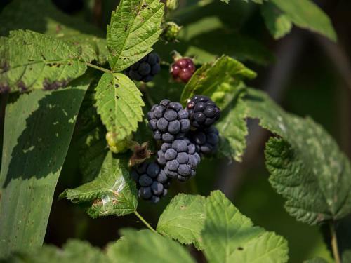 Rubus caesius (Photo by Evgeniy Polonskiy)