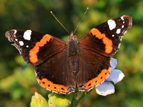 Vanessa atalanta (Photo by Andrey Steblev)